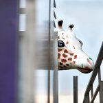 """Giraffe Head"" 2012 Photography/Archival Pigment Print 16""x20"""