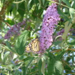 Malcolm King Butterfly